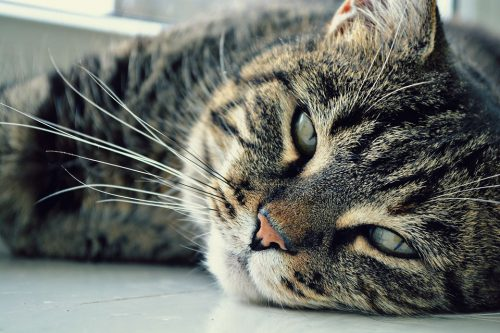Tabby cat lying with face on ground