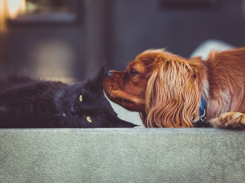 Dog sniffing a cat ear