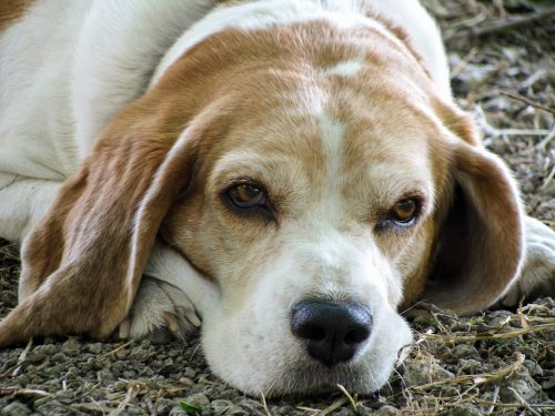 Beagle lying on ground