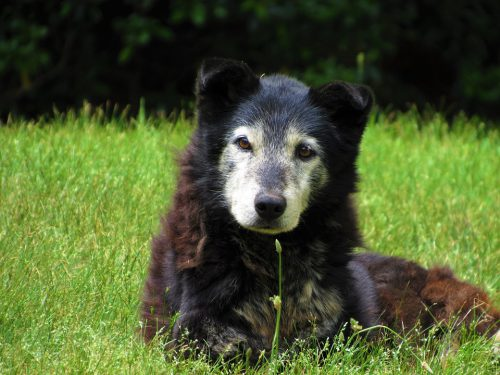 Old, white faced dog