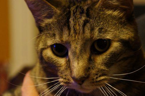 Cat, Artamis