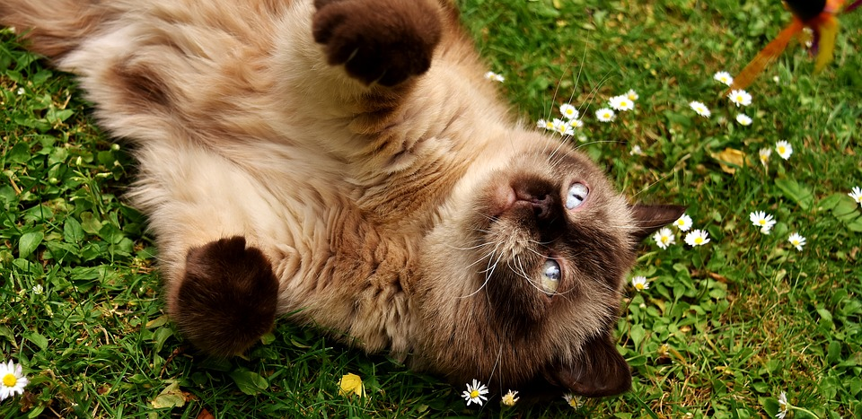 British short-hair cat rolling in grass